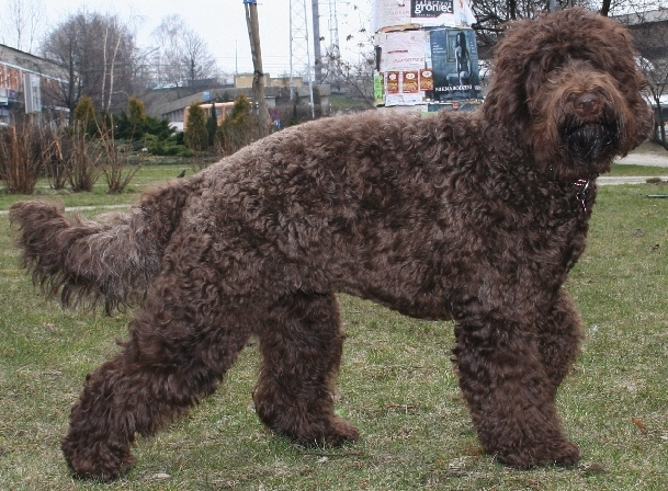 Large Black Curly Haired Dog